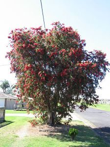 Bottle Brush Trees from Australia